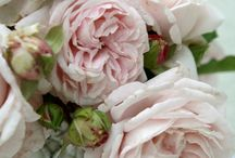 Romance of Roses ♥
