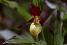 Fleurs de Vanoise