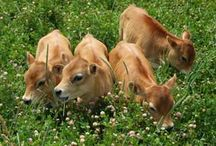Keeping a cow for milk / Caring for and milking a cow on a small farm or homestead / by Emergency Essentials, LLC
