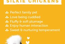 All About Silkie Chickens / Silkie Chickens 101