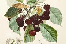 Garden - Cherries