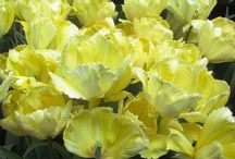 Parrot tulip fest at the magic garden / Over 40 types of parrot tulips! Look on the garden website for more. We planted 3,000 bulbs in a 75 by 20 feet garden ! To foil the dreaded garden enemy,the tree rat(grey squirrel), cover pots and areas of garden with chicken wire.