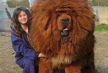 Biggest Dogs Off The World