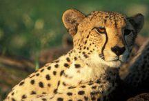 The Super-seven Safari Animals
