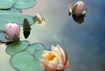 Flowers...Waterlillies