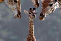 jirafas /  Vida en familia de las jirafas
