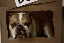English Bulldog... Someday / by Jeannina Angel'sMom