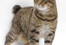 American Bobtail Cat / The Bobtail's most noted feature, its succinct tail, is one-third to one-half the length of an ordinary cat's, and should not extend below the hock. Like the Manx, the Bobtail's tail appears to be governed by a dominant gene. The tail is straight and articulate but may curve, have bumps or be slightly knotted. Bobtails with no tails (also called rumpies) are not acceptable because of the health problems associated with the shortened spine.