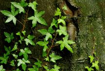 Ivy Structure