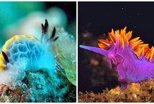 nudibranchi