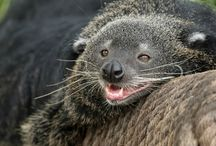 Chat ours / Binturong