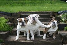My English Bulldog obsession