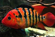 Fish addictions / Especies de Peixes Ornamentais