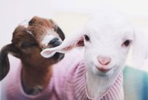 For the ❤ of Goats / Noted for their lively and frisky behavior, goats make me smile.