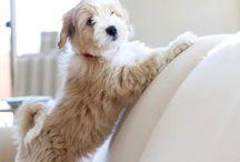 Tibetansk terrier !