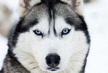 Husky / Husky Love!