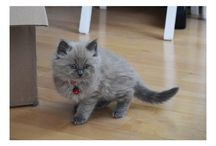Gaston, blue mink kitten ragdoll