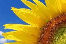 Sunflower oh s Sunflower, you brighten my day!