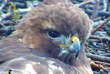 Nestwatch / Nesting birds