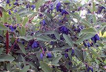 Aromatik Bitkiler