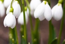 If you like snowdrops / sneeuwklokjes