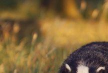 Badger/Dachs