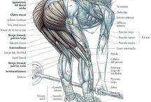 Músculos cuerpo humano