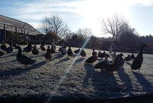 Jinney Ring Ducks