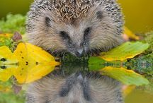 Hedgehogs!!!