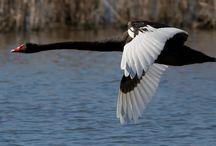 Spanish black swan in flight