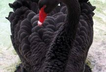 Psycho Swans