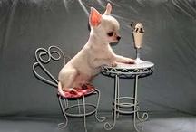 Chihuahuas / by Carol Yantorno Moffitt