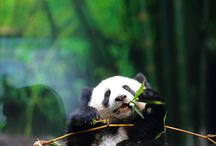 PANDAS ARE AMAZING / by Narcisa Salinas