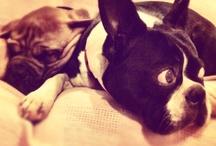 boston terriers / in honour of my aussie beautiful boston boy, merv hughes