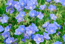 Flowers (Blue) / This board is dedicated to flowering plants that produce blue to bluish flower blossoms.