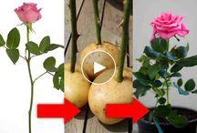 Rosas en una patata