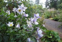 Late Summer and Fall Bloomers / Perennials, Shrubs and Vines that come into their own in late summer
