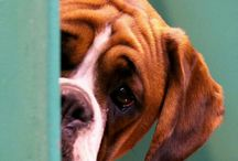 Dogs (boxer)