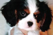 Cavaliers / I had a little tri-color Cavalier King Charles Spaniel.  He had the best eyes and a tail that always wagged.  He is in heaven now but he was the sweetest dog and loved me so.   / by Caroline Evans