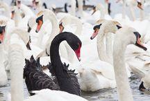Black Swan Group facebook