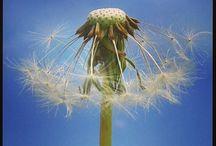 Dandelion. Paardebloem / by Juf Clarinda