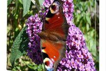 vlinders vlinderstruik