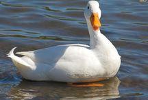 Ducks etc