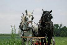 Babe the Percheron Horse