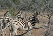Zebras of Africa / The braying of zebra is a familiar sound of Africa and combined with the smell of the sun baked earth it is part of the essence of Africa.