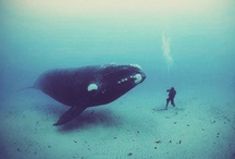 Whales / Whales are my favorite animals, ever. Have been since I was a kiddo. :) The obsession surfaces here.