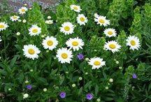 Leucanthemum Combinations / Plant partnerships that include Shasta daisies (Leucanthemum x superbum or Chrysanthemum x superbum)