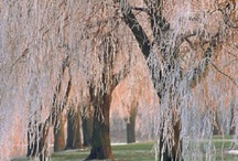 Weeping Willows...My Favorite Tree