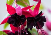 Fuchsias / Delicate Beauties