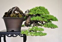 Bonsai with Chis Polk / A gentleman's recreation